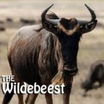The Wildebeest